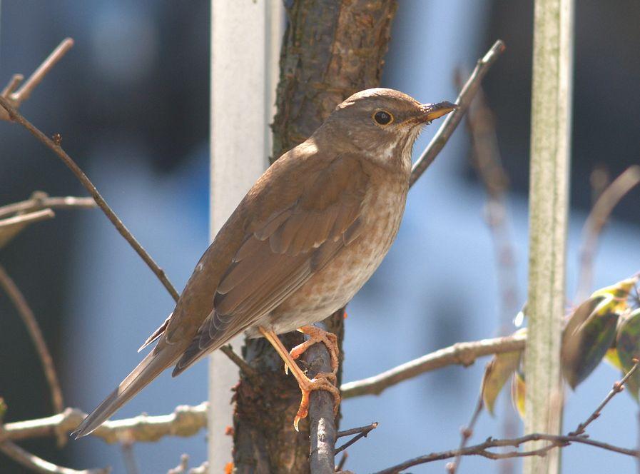 シロハラの生態!鳴き声や似た鳥等7つのポイン …